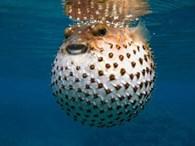 Denizlerimizdeki Bilinmesi Gereken 8 Zehirli Balık