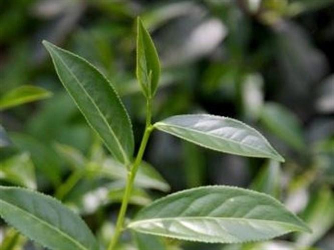 Çay ağacı yağının büyülü etkisi!