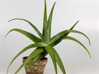 Aloe Vera Bitkisi Nasıl Çoğaltılır?